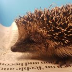 Hedgehog being cared for